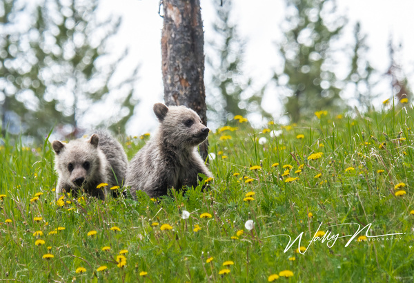 Grizzly Cubs_DSC_1360 - Bears - Walter Nussbaumer Photography