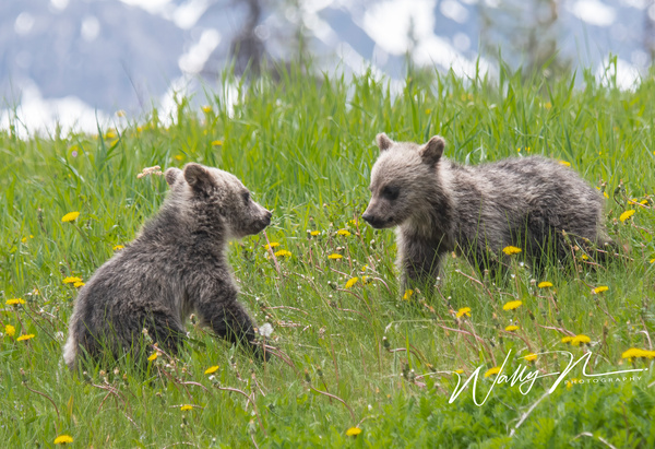 Grizzly Cubs_DSC_1377 - Bears - Walter Nussbaumer Photography