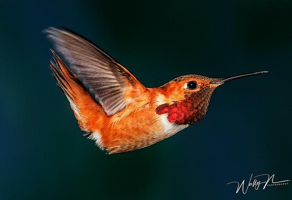 Rufous_MG_0034 - Hummingbirds - Walter Nussbaumer Photography
