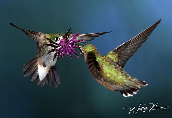 Calliope Shuttle DisplayCanon_F3O4374 - Hummingbirds - Walter Nussbaumer Photography