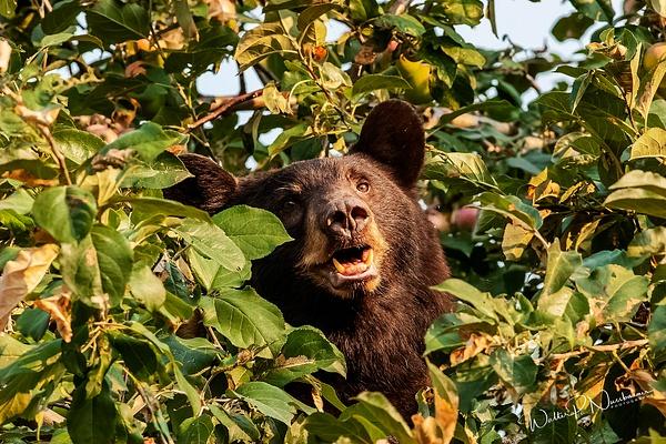 Black Bear SF_MG_0005 - Bears - Walter Nussbaumer Photography