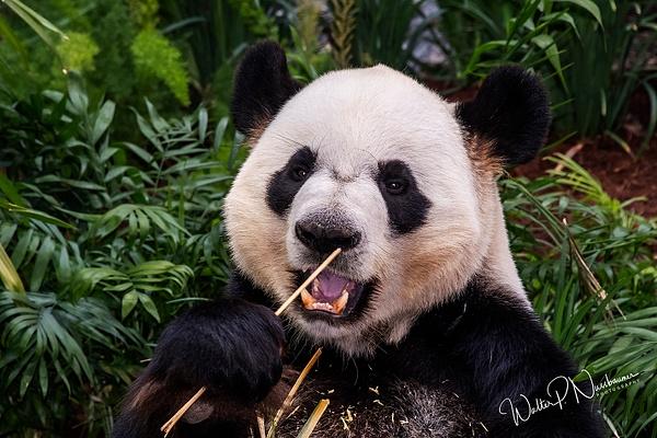 Panda_DSC1912 - Bears - Walter Nussbaumer Photography