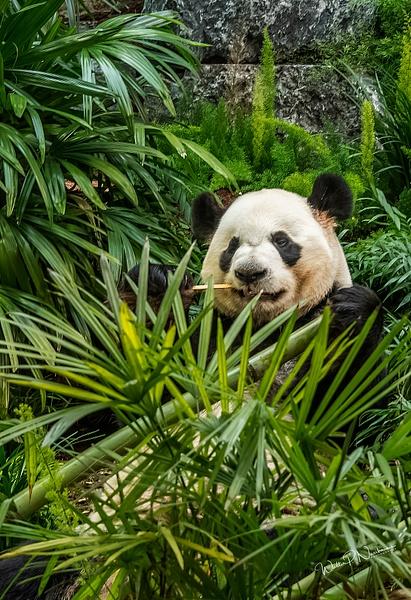 Panda Da Mao_DSC1889 - Bears - Walter Nussbaumer Photography