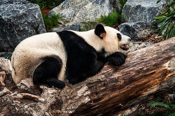 Panda(B)_DSC1918 - Bears - Walter Nussbaumer Photography