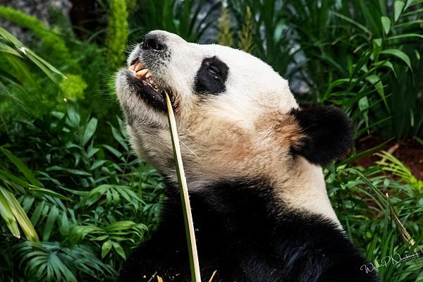 Panda_DSC1915 - Bears - Walter Nussbaumer Photography