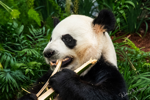 Panda_DSC1914 - Bears - Walter Nussbaumer Photography
