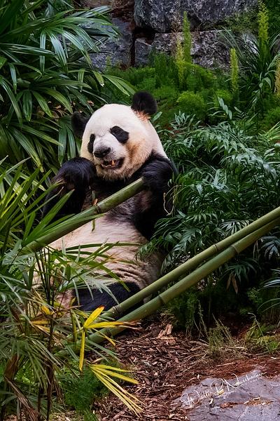 Panda_DSC1890 - Bears - Walter Nussbaumer Photography