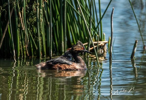 Grebe_R8A6009 - Waterfowl - Walter Nussbaumer Photography