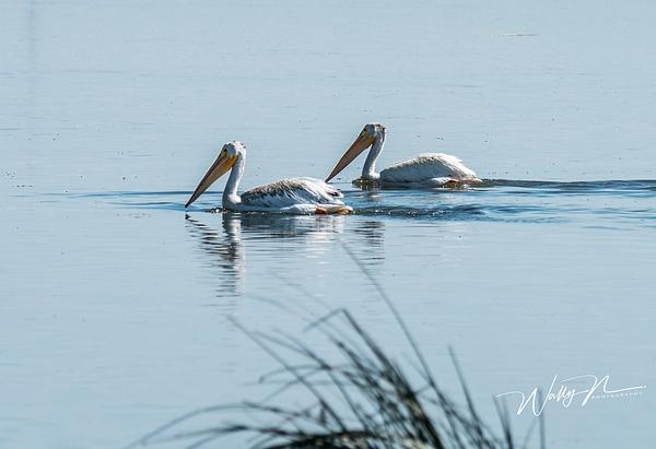 Pelican_DSC6976 - Waterfowl - Walter Nussbaumer Photography