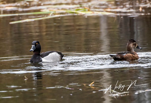 Ring-necked Duck_R8A8353 - Waterfowl - Walter Nussbaumer Photography