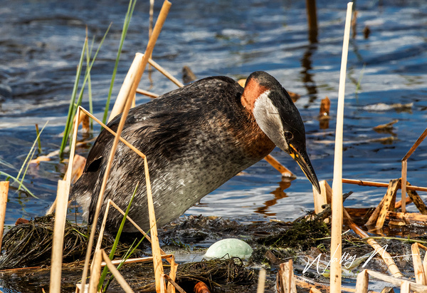 Red-necked Grebe_R8A8413 - Waterfowl - Walter Nussbaumer Photography