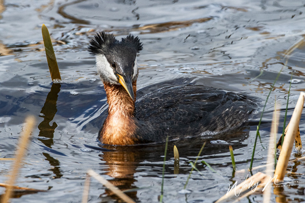Red Necked Grebe_R8A8368 - Waterfowl - Walter Nussbaumer Photography