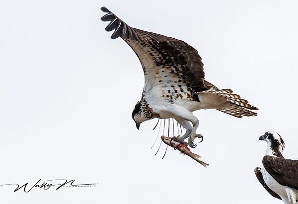 Osprey_DSC0236 - Raptors - Walter Nussbaumer Photography