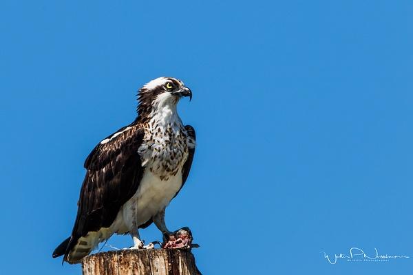 Osprey_0R8A8214 - Raptors - Walter Nussbaumer Photography