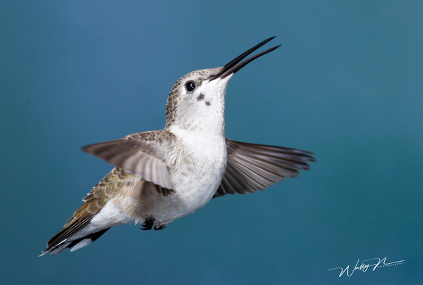 BCF_F3O0849 - Hummingbirds - Walter Nussbaumer Photography