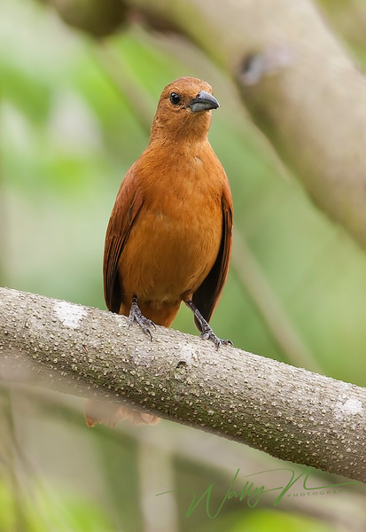White Lined Tanager_F3O4914 - Tropical Birds - Walter Nussbaumer Photography