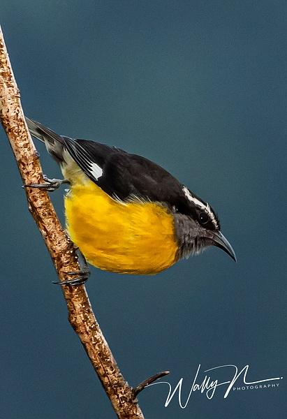 Bananaquit_F3O4753 - Tropical Birds - Walter Nussbaumer Photography