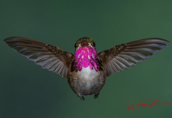 Calliope_MG_2853 - Hummingbirds - Walter Nussbaumer Photography