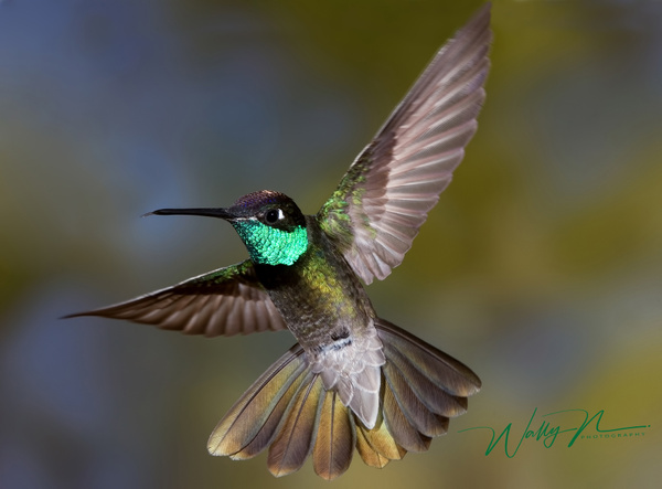 Magnificent_0002 - Hummingbirds - Walter Nussbaumer Photography