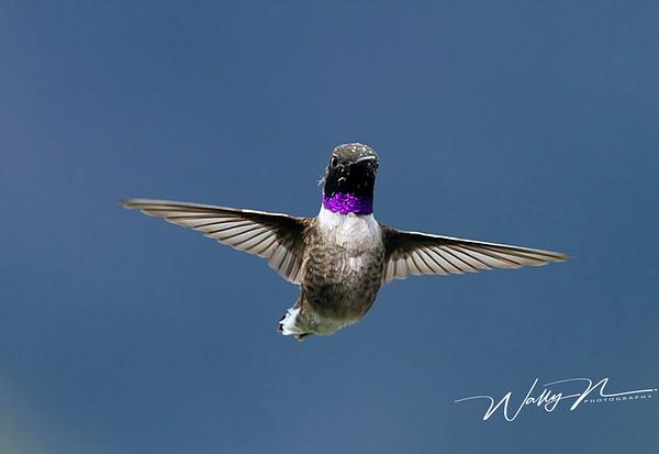 Black Chin _NL2011__MG_1881 - Hummingbirds - Walter Nussbaumer Photography