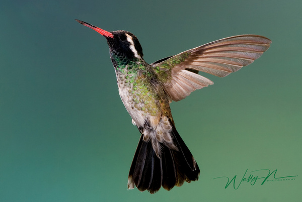 White EaredNG_2352 - Hummingbirds - Walter Nussbaumer Photography