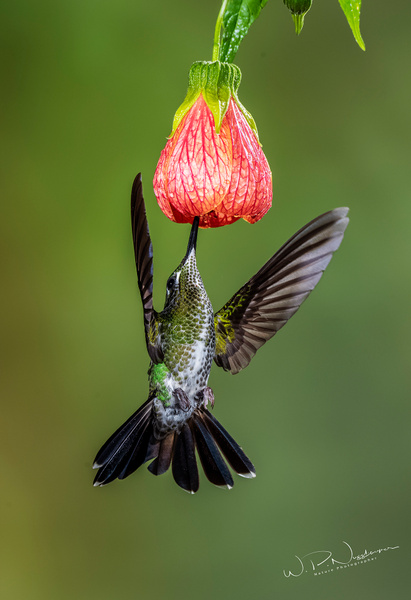 Green Crowsned Brilliant_DSC3729 - Hummingbirds - Walter Nussbaumer Photography