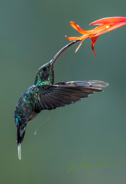 Green Hermit(V)_DSC3638 - Hummingbirds - Walter Nussbaumer Photography