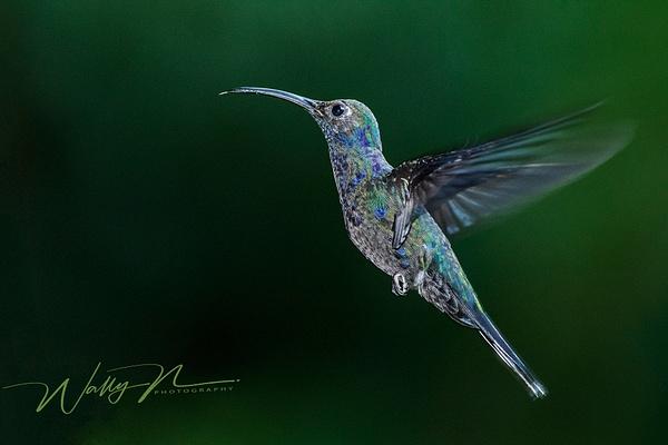 Green Hermit_0R8A7904 - Hummingbirds - Walter Nussbaumer Photography