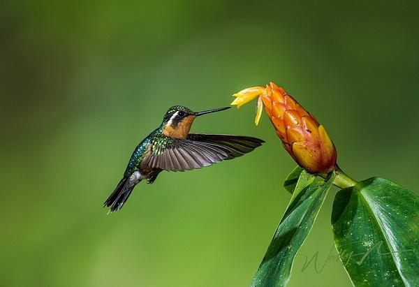 Purple Throated Mountain Gem (Female)_DSC3701 - Hummingbirds - Walter Nussbaumer Photography