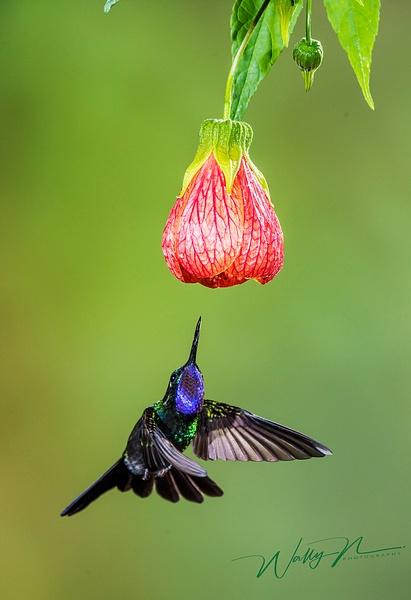 Sapphire Throated Hummingbird__DSC3748 - Hummingbirds - Walter Nussbaumer Photography
