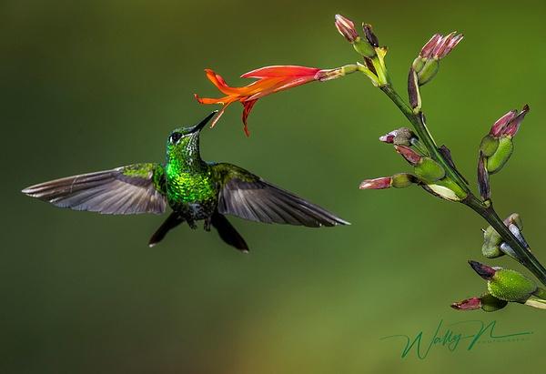 Green Crowned Brilliant_DSC3655 - Hummingbirds - Walter Nussbaumer Photography