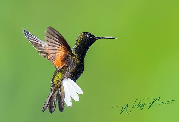 Black bellied Hummingbird_DSC3873 - Hummingbirds - Walter Nussbaumer Photography