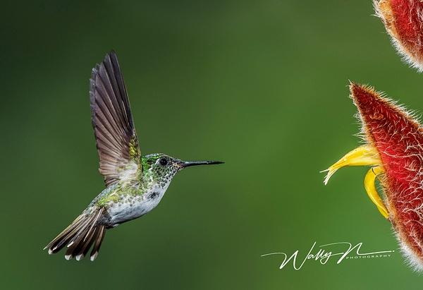 Andian Emerald__DSC4111 - Hummingbirds - Walter Nussbaumer Photography