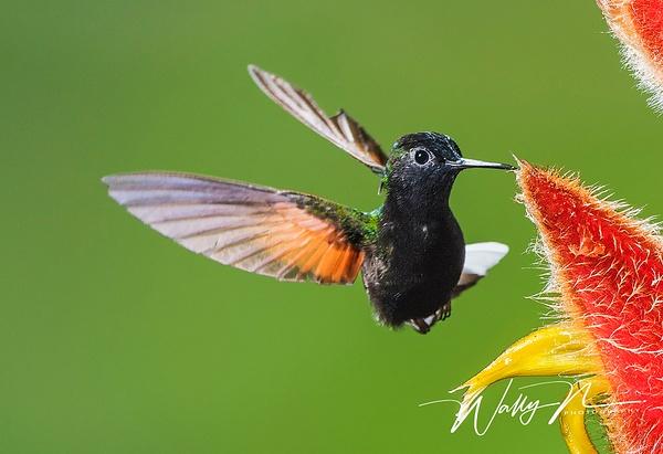 Black Bellied Hummingbird_DSC4035 - Hummingbirds - Walter Nussbaumer Photography