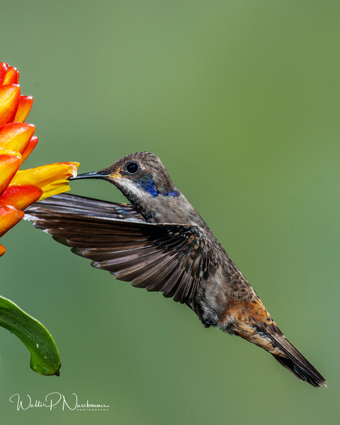 Brown Viloet Ear_DSC4119 - Hummingbirds - Walter Nussbaumer Photography