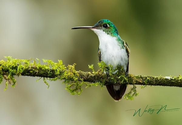 Andean Emerald_0R8A9345 - Hummingbirds - Walter Nussbaumer Photography