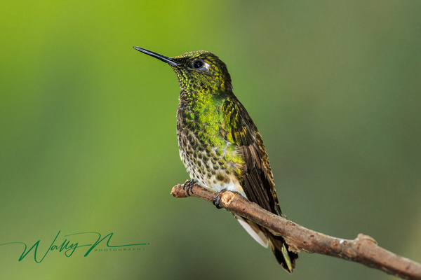 Green Crowned Brilliant_0R8A9246 - Hummingbirds - Walter Nussbaumer Photography