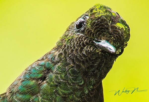 Buff Tailed Coronet_0R8A9235 - Hummingbirds - Walter Nussbaumer Photography