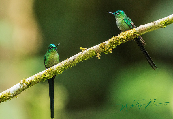 Long Tailed Sylph_0R8A9931 - Hummingbirds - Walter Nussbaumer Photography