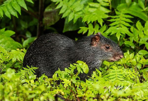 Agouti_0R8A9992 - Miscellaneous Wildlife - Walter Nussbaumer Photography