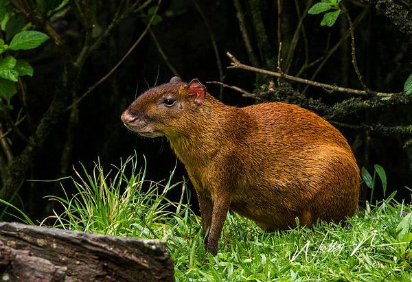 Central American Agouti_0R8A7967 - Miscellaneous Wildlife - Walter Nussbaumer Photography