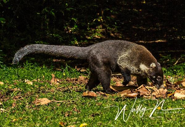 Coati_73A9600 - Miscellaneous Wildlife - Walter Nussbaumer Photography