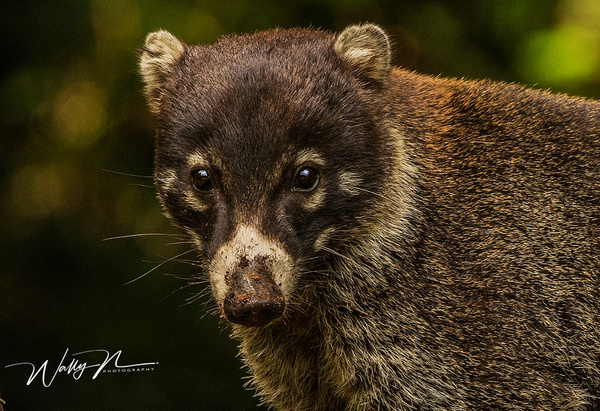White Nosed Coati_0R8A7979 - Miscellaneous Wildlife - Walter Nussbaumer Photography