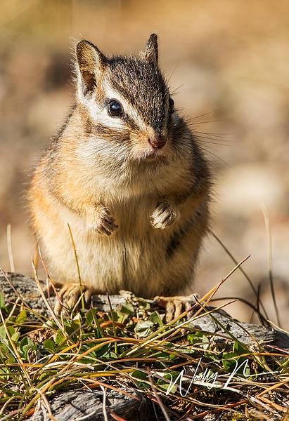 Chipmunk_0R8A6204 - Miscellaneous Wildlife - Walter Nussbaumer Photography