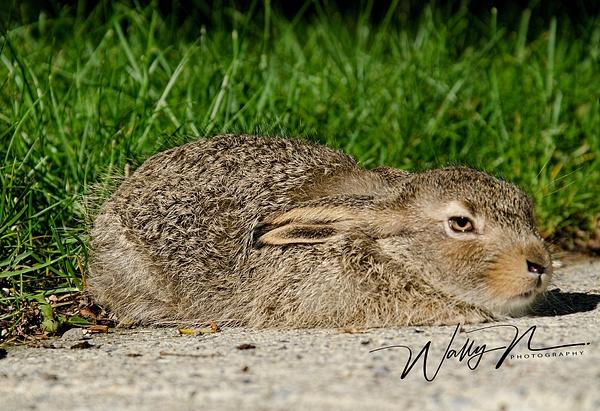Baby Jack Rabbit_26_06_2013_DSC3301 - Miscellaneous Wildlife - Walter Nussbaumer Photography