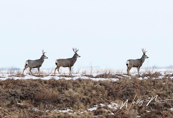 Three Deer_0R8A9154 - Miscellaneous Wildlife - Walter Nussbaumer Photography