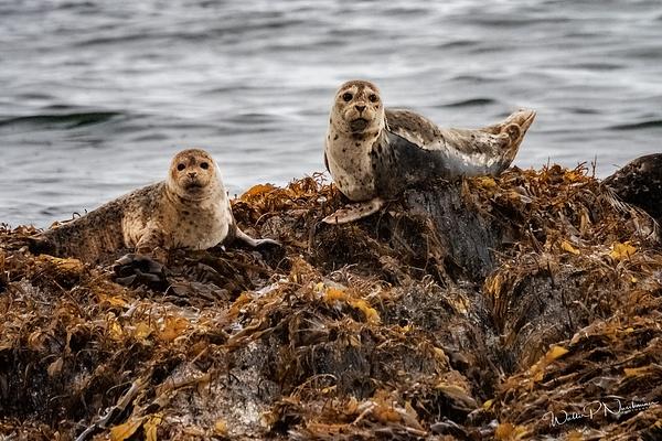 Seal_DSC2659 - Miscellaneous Wildlife - Walter Nussbaumer Photography