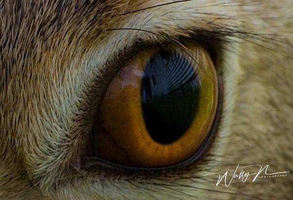 Eye ofJack rabbit_073A3814 - Miscellaneous Wildlife - Walter Nussbaumer Photography