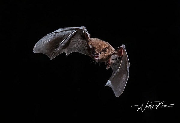 Long-tongued Bat_DSC3044 - Miscellaneous Wildlife - Walter Nussbaumer Photography