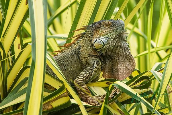 Iguana_0R8A7063 - Miscellaneous Wildlife - Walter Nussbaumer Photography
